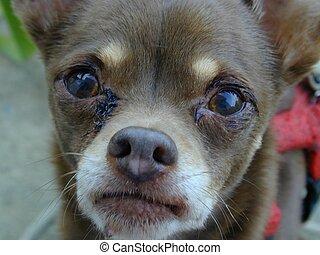 sad puppy - Crying chihuahua.