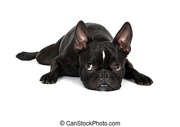 Sad Puppy - Froston (Frenchie x Boston Terrier) laying down...
