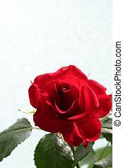 Sad red rose