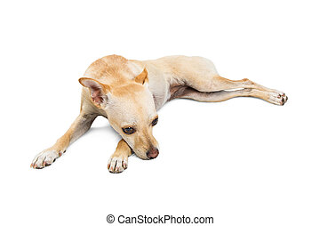 Sad Rescue Dog Lying Down on White
