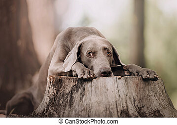 sad weimaraner dog posing on a cut down tree in the forest