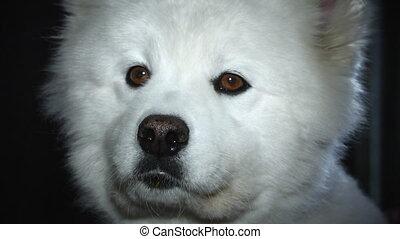 sad white dog looking at the camerasad white dog looking at...