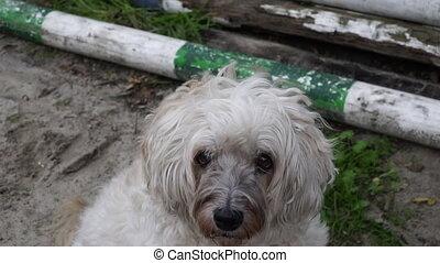 sad white dog looking at the camerasad white dog looking at the camera