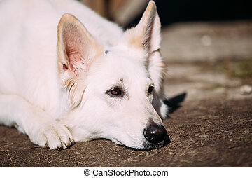 Sad White Swiss Shepherd Dog Berger Blanc Suisse - Close Up...