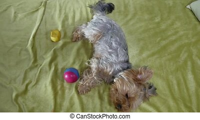 Sad Yorkshire Terrier bites a rubber toy lying indoors on...