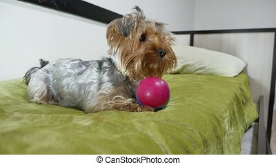 Sad Yorkshire Terrier bites a rubber toy lying on indoors...