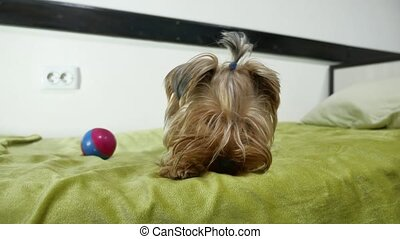 Sad Yorkshire Terrier bites a rubber toy lying on the bed....