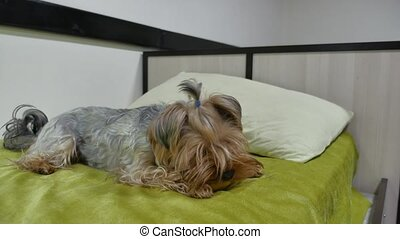 Sad Yorkshire Terrier bites a rubber toy lying on the bed...