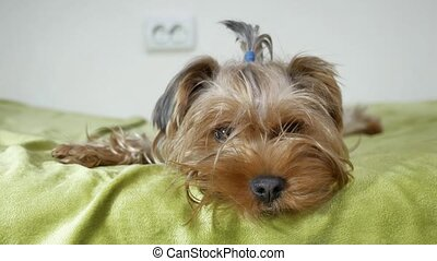 Sad Yorkshire Terrier dog lying in bed. Cute pet looking at camera indoors