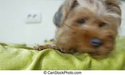 Sad Yorkshire Terrier dog lying in bed. Cute pet looking indoors at camera