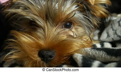 sad Yorkshire terrier lonely sick dog on the bed - sad...