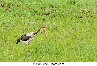 Saddle-billed stork (Ephippiorhynchus senegalensis) in...