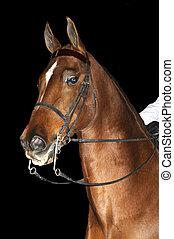 Saddlebred horse in English livery