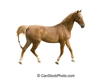 Saddlebred horse on white