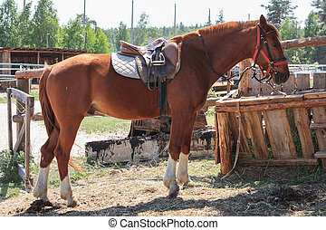 Saddled brown horse stay in the paddock