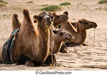 saddled camels resting in the sand of the Gobi desert Mongolia