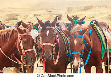 Saddled horses in Arabian desert, Egypt