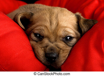 Sadness Puppy - Sadness cute puppy with the snout over a red...