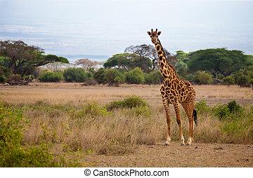 safari, in, kenia, a, giraffe, gleichfalls, aufpassen, in, der, savanne, blauer himmel