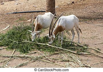 safari, leucoryx), (maha), oryx arabe, sauvage, (oryx, parc