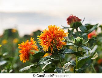 Safflower is globular flower heads having yellow, orange, or...