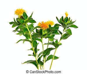 safflower's, αγαθός φόντο , απομονωμένος , flower.