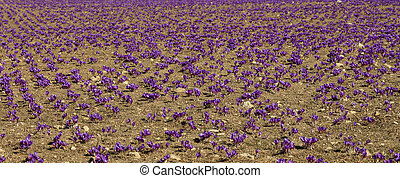 Saffron field at autumn, harvest time