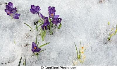 hand gather pick crocus saffron flower blooms grow between snow in spring garden.