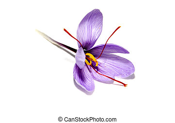 saffron flower - a saffron flower isoalted on a white...