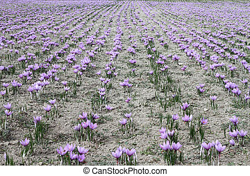 Saffron flowers on the field
