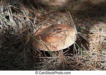 Saffron milk cap mushroom. State forest near Oberon. NSW. Australia.