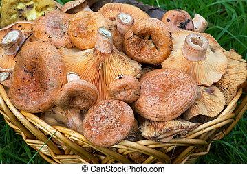 Saffron milk caps in the basket