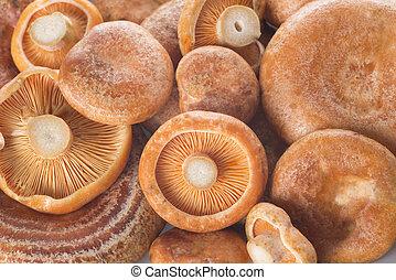 Saffron milk caps or lactarius deliciosus