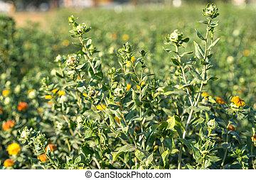 saflor, hat, blüte, kleingarten, angefangen
