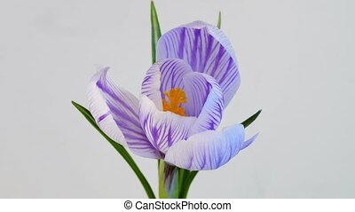 Safran blossoming on white background - Isolated flower...
