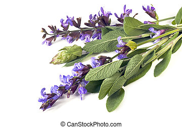 Sage - Bunch of flowering sage, over white background.