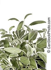 sage bush - vertical sage bush isolated on a white...