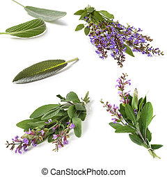 Sage Collection Isolated