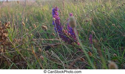 Sage flowers in wild
