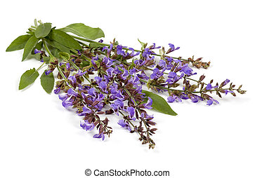 Sage Flowers Isolated