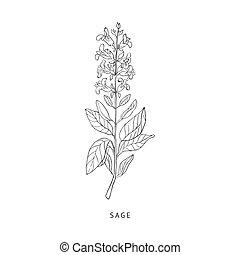 Sage Hand Drawn Realistic Sketch - Sage Medical Herb Hand...