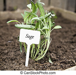 Sage herb with label in the garden
