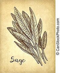 Sage ink sketch on old paper background. Hand drawn vector ...