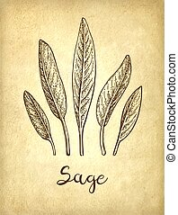 Sage ink sketch on old paper background. Hand drawn vector ...