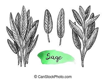 Sage ink sketch. - Sage ink sketch isolated on white ...