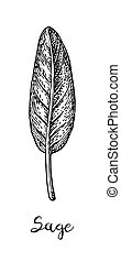 Sage ink sketch. - Sage ink sketch isolated on white ...