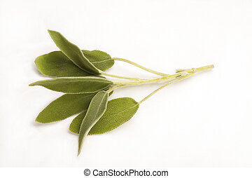 Sage isolated against white