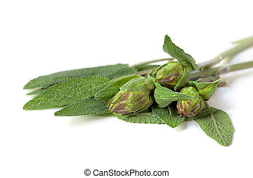 Sage Leaves and Buds