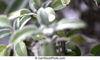 Sage, medical plant, closeup of the leaves