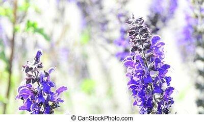 Sage, medicinal plant, flower and leaf